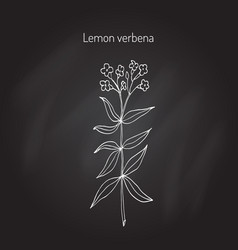 Lemon verbena aromatic plant vector