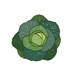 Cabbage hand drawn vegan food vector