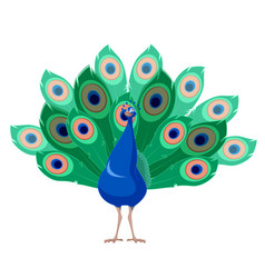 cartoon smiling peacock vector image vector image