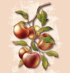 apple branch hand drawing vintage engraving vector image