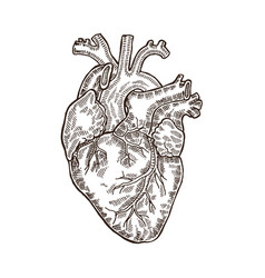 Vintage engraved human heart vector