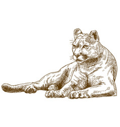 Engraving of cougar vector