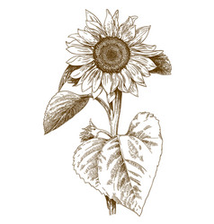 Engraving sunflower vector