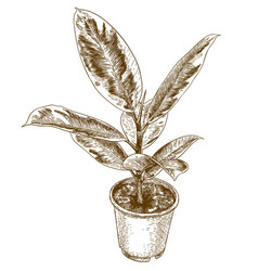 engraving drawing of ficus elastic vector image vector image
