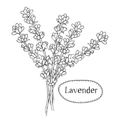 Hand drawn lavender Organic healing wild flowers vector image