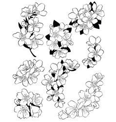 set of cherry blossoms collection of flowers vector image