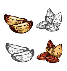 Almond and brazil nut sketch for superfood design vector
