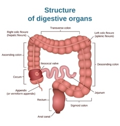 Digestive tract image intestine vector