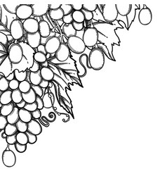 graphic bunches of grapes hanging on the branch vector image