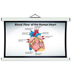 Chart showing blood flow in human heart vector