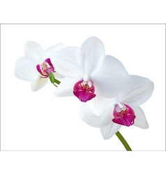 White Orchid vector image vector image