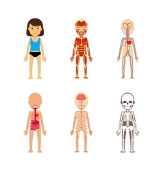 Female body anatomy vector