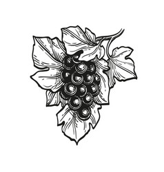 ink sketch grapes vector image