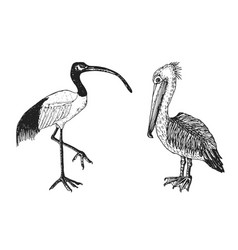 Pelican and african sacred ibis engraved hand vector