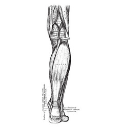 Superficial muscles of the back leg vintage vector