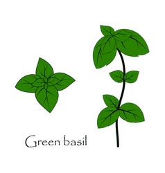 grenn basil on the white vector image