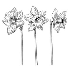 Daffodil flower and leaves drawing hand vector