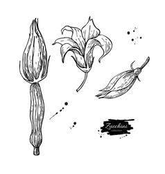 Zucchini flower hand drawn set vector