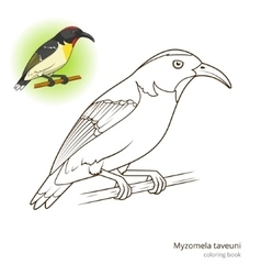 Myzomela taveuni bird coloring book vector