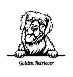 golden retriever peeking dog - head isolated vector image