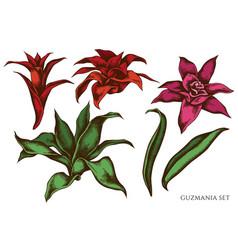 set hand drawn colored guzmania vector image