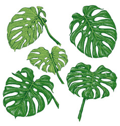 Green monstera fronds sketch vector