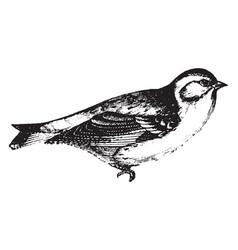 Finch vintage vector