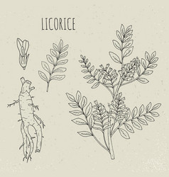 Licorice botanical isolated plant vector
