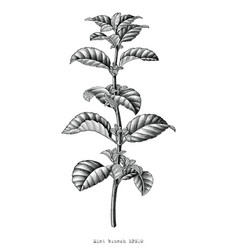 Antique engraving mint branch hand draw black vector