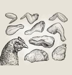 Hand drawn cuts chicken meat butcher shop sketch vector