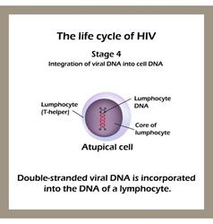 The life cycle of HIV Stage 4 - The double vector image