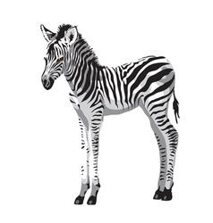 Zebras foal vector