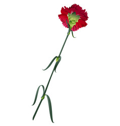one red carnation flower isolated on white vector image