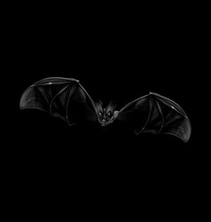 portrait a bat in flight on a black background vector image