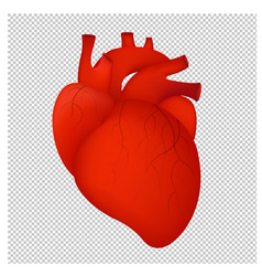 human red heart isolated transparent background vector image