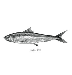 Sardine fish hand drawing vintage engraving vector