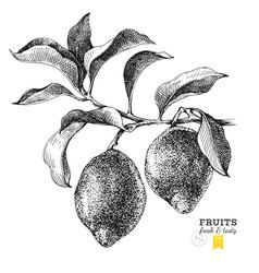 hand drawn branch of lemons vector image