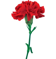 red carnation vector image
