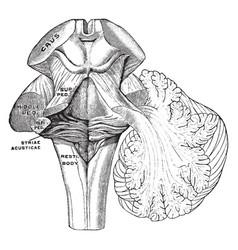 Peduncles of the cerebellum vintage vector
