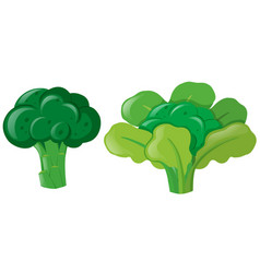 Brocolli plant with leaves vector