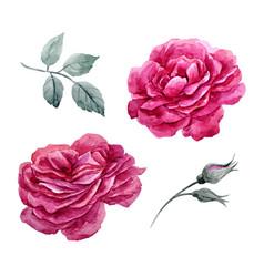 watercolor roses set vector image vector image