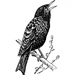 bird sturnidae vector image vector image