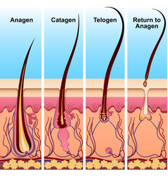 Four stages of the hair growth cycle vector