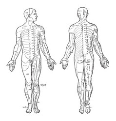Cutaneous nerves of the body vintage vector