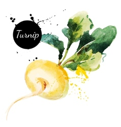 Turnip Hand drawn watercolor painting on white vector image