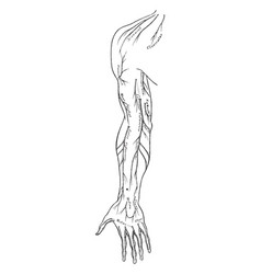 Anterior view of cutaneous nerves of the arm vector