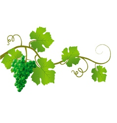 green grape vine vector image