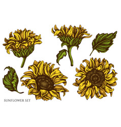 set hand drawn colored sunflower vector image