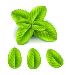 mint leaves 3d photo realistic set vector image