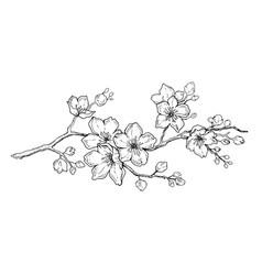 Cherry flower blossom botanical art spring vector